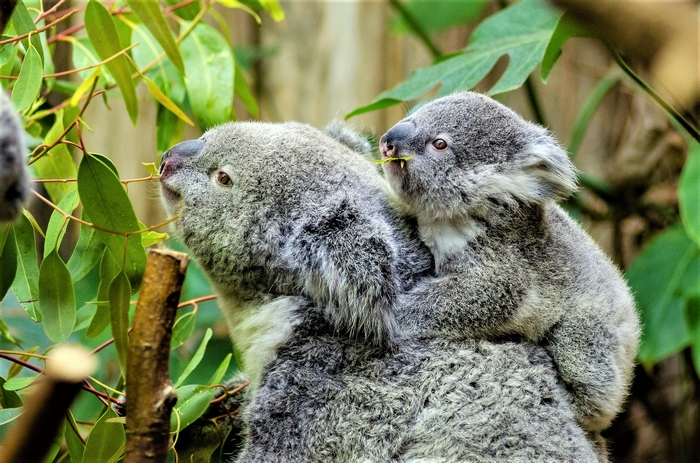 Moggill Koala Rehabilitation Centre Upgrade Gets Funding